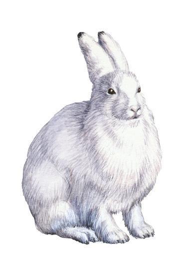 Arctic Hare (Lepus Arcticus), Mammals-Encyclopaedia Britannica-Art Print