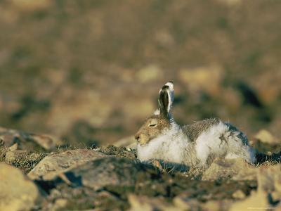 Arctic Hare Showing Changing Seasonal Colors-Norbert Rosing-Photographic Print