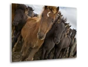 Annual Horse round Up-Laufskalarett, Skagafjordur, Iceland by Arctic-Images