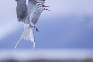 Arctic Tern by Arctic-Images