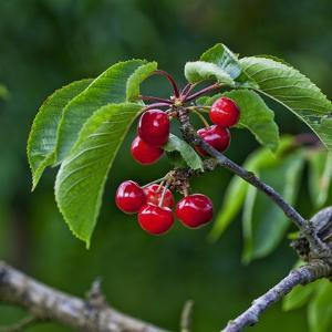Cherries, Norway by Arctic-Images