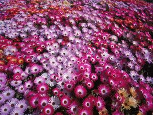 Colorful Flowers in Iceland by Arctic-Images