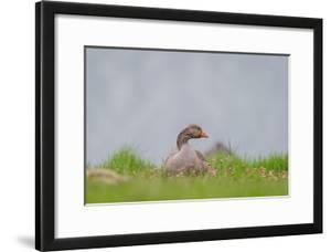 Greylag Goose in Fields, Goslings near By, Iceland by Arctic-Images