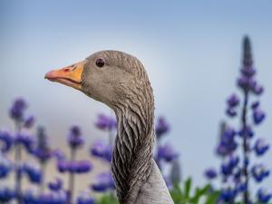 Greylag Goose with Lupines, Iceland by Arctic-Images