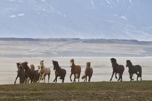 Herd of Icelandic Horses Running, Northern Iceland by Arctic-Images