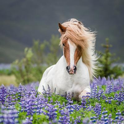 Horse Running by Lupines by Arctic-Images