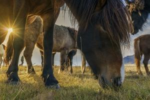 Horses Grazing at Sunset, Iceland by Arctic-Images