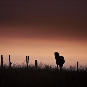 Icelandic Horse in Pasture at Sunset by Arctic-Images