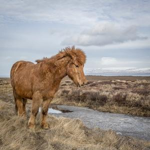 Icelandic Horse with Winter Coat, Snaefellsnes Peninsula, Iceland by Arctic-Images