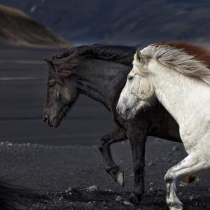 Icelandic Horses by Arctic-Images