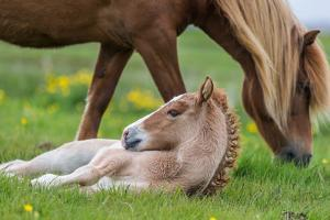 Mare and New Born Foal, Iceland by Arctic-Images