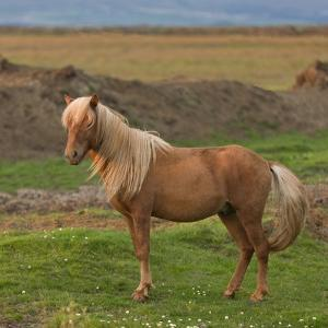 Mare, Icelandic Horse, Iceland by Arctic-Images