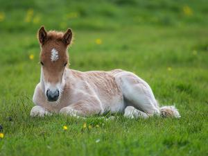 New Born Foal, Iceland by Arctic-Images