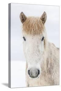 Portrait Icelandic Horse, Iceland by Arctic-Images
