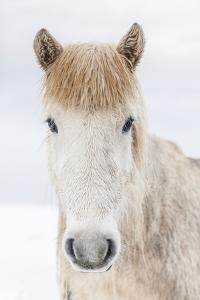 Portrait Icelandic Horse, Iceland by Arctic-Images