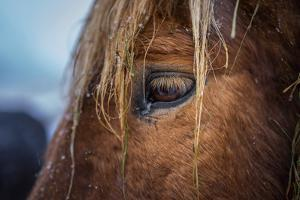 Portrait of Icelandic Horse, Iceland by Arctic-Images