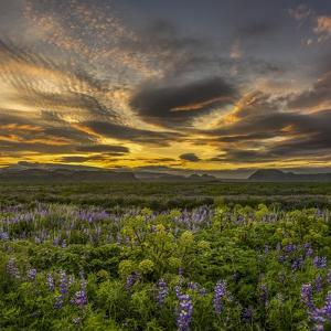 Sunset and Lupines, Myrdalssandur, South Coast, Iceland by Arctic-Images