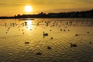 Swans and Ducks at Sunset, Reykjavik, Iceland by Arctic-Images