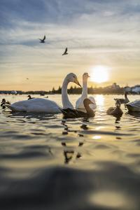 Swans and Ducks in Pond, Reykjavik, Iceland by Arctic-Images