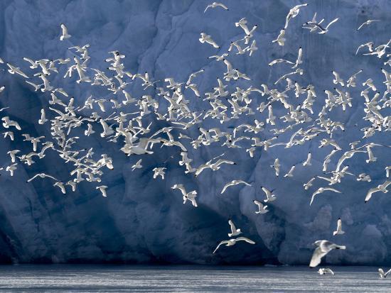 Arctic Ocean, Norway, Svalbard. Flying Kittiwake Birds and Glacier Face-Jaynes Gallery-Photographic Print