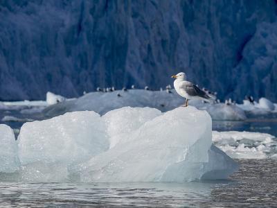Arctic Ocean, Norway, Svalbard. Kittiwake Bird on Iceberg-Jaynes Gallery-Photographic Print