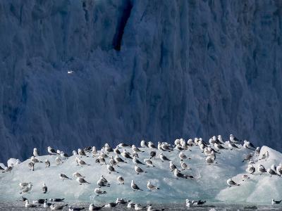 Arctic Ocean, Norway, Svalbard. Kittiwake Birds on Iceberg-Jaynes Gallery-Photographic Print