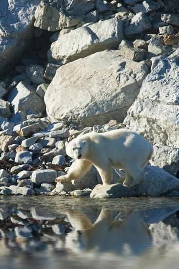 Arctic, Svalbard. Polar Bear Female and Reflection-David Slater-Photographic Print