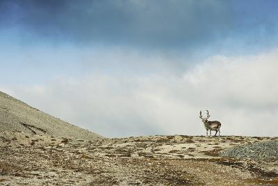 Arctic, Svalbard. Rangifer Tarandus Platyrhynchus, Male Svalbard Reindeer on Barren Tundra-David Slater-Photographic Print
