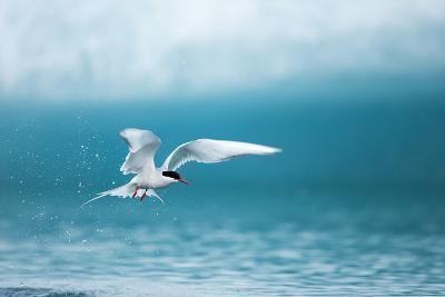 Arctic Tern Fishing in Jokulsarlon Lake-Paul Souders-Photographic Print