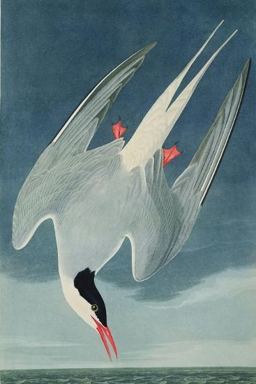Arctic Tern, from 'Birds of America', Engraved by Robert Havell (1793-1878) Published 1835-John James Audubon-Giclee Print
