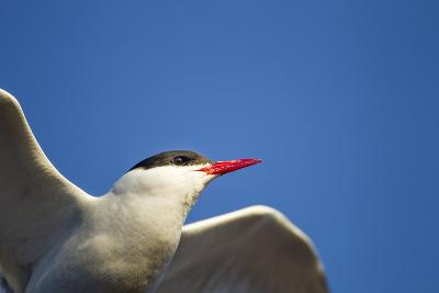 Arctic Tern, Hudson Bay, Canada-Paul Souders-Photographic Print