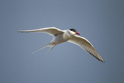Arctic Tern in Flight, Hudson Bay, Canada-Paul Souders-Photographic Print