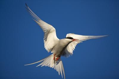Arctic Tern in Flight-Paul Souders-Photographic Print