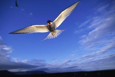 Arctic Tern in Iceland--Photographic Print