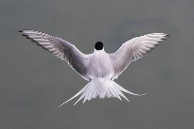 Arctic Tern, Sterna Paradisaea, Flying over Water in Iceland-Michael Melford-Photographic Print