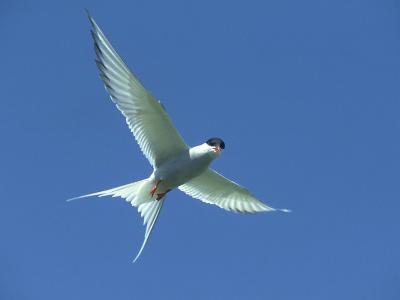 Arctic Tern, Sterna Paradisaea in Flight Against Blue Sky Farnes, UK-Mark Hamblin-Photographic Print