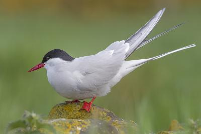 Arctic Tern (Sterna Paradisaea)Perched on a Rock on the Farne Islands, Northumberland, England-Garry Ridsdale-Photographic Print