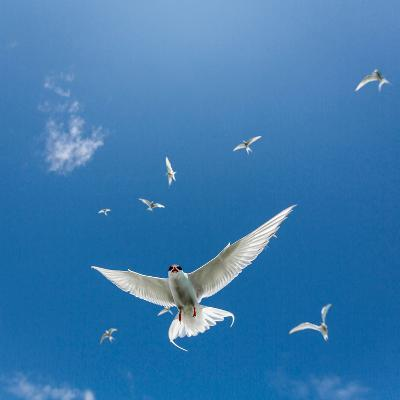 Arctic Terns Flying, Iceland--Photographic Print