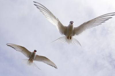 https://imgc.artprintimages.com/img/print/arctic-terns-in-flight-in-a-cloud-filled-sky_u-l-q1bj3v90.jpg?p=0