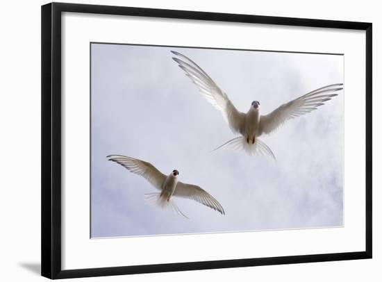 Arctic Terns in Flight in a Cloud-Filled Sky-Ralph Lee Hopkins-Framed Photographic Print