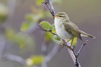 Arctic Warbler Singing-Ken Archer-Photographic Print