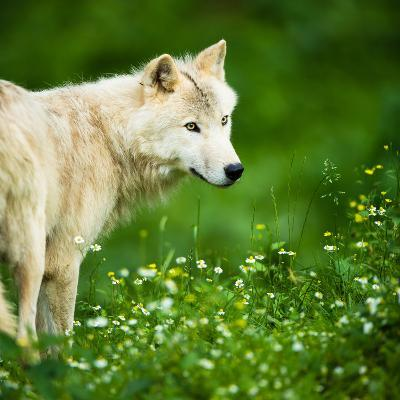 Arctic Wolf (Canis Lupus Arctos) Aka Polar Wolf Or White Wolf-l i g h t p o e t-Photographic Print