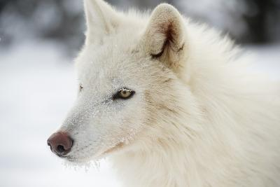 Arctic Wolf (Canis Lupus Arctos), Montana, United States of America, North America-Janette Hil-Photographic Print