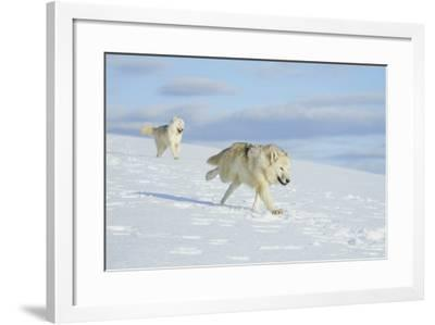 Arctic Wolf--Framed Photographic Print