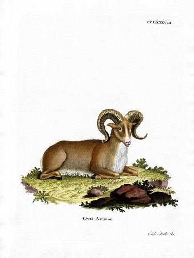 Argali--Giclee Print