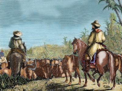 Argentina. Gauchos Driving Cattle--Giclee Print