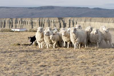 Argentina, Patagonia, Province Santa Cruz, Sheep Farm, Flock of Sheep, Sheepdog-Chris Seba-Photographic Print