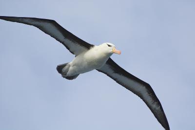 Argentina. Tierra Del Fuego. Black Browed Albatross in Flight-Inger Hogstrom-Photographic Print