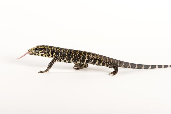 Argentine Black and White Tegu, Tupinambis Teguixin-Joel Sartore-Photographic Print