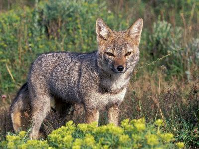 https://imgc.artprintimages.com/img/print/argentine-grey-fox-torres-del-paine-national-park-chile_u-l-p2ovj80.jpg?p=0